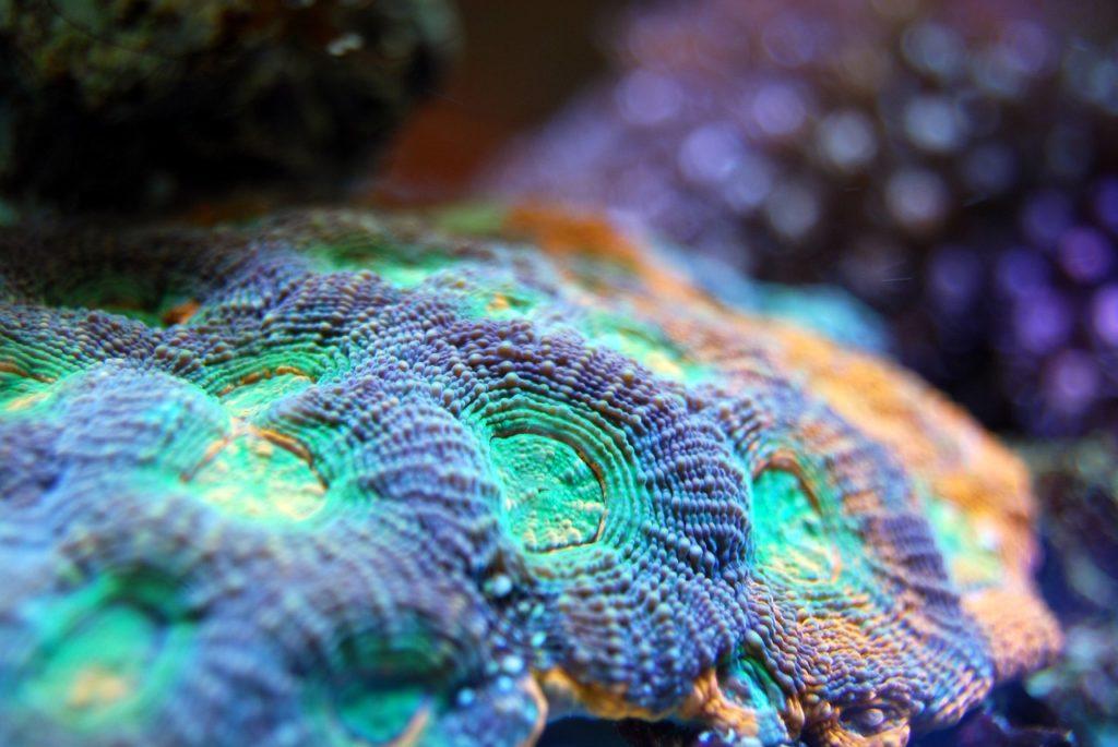 La piedra marina, el coral